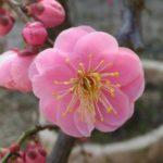 梅が咲く「断捨離で、耐えずとも期待せずとも咲く人生」