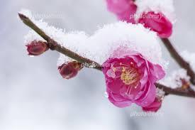 梅と雪 写真素材 [ 221884 ] 無料 - フォトライブラリー photolibrary